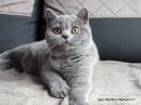 Zdjęcie 2 - MARVIL*PL - hodowla kotów brytyjskich - Ostrołęka