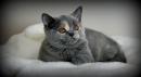 Zdjęcie 3 - MARVIL*PL - hodowla kotów brytyjskich - Ostrołęka