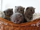 Zdjęcie 7 - MARVIL*PL - hodowla kotów brytyjskich - Ostrołęka
