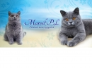 Zdjęcie 8 - MARVIL*PL - hodowla kotów brytyjskich - Ostrołęka