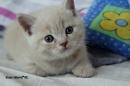 Zdjęcie 11 - MARVIL*PL - hodowla kotów brytyjskich - Ostrołęka