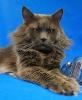 Zdjęcie 2 - ELMOWO*PL Domowa Hodowla Kotów Rasy Main Coon