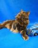 Zdjęcie 3 - ELMOWO*PL Domowa Hodowla Kotów Rasy Main Coon