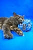 Zdjęcie 4 - ELMOWO*PL Domowa Hodowla Kotów Rasy Main Coon