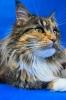 Zdjęcie 7 - ELMOWO*PL Domowa Hodowla Kotów Rasy Main Coon