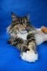 Zdjęcie 8 - ELMOWO*PL Domowa Hodowla Kotów Rasy Main Coon