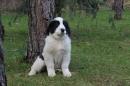 Zdjęcie 5 - Zakątek BERNA - hodowla Berneńskiego Psa Pasterskiego i Landseera