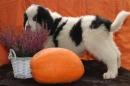 Zdjęcie 11 - Zakątek BERNA - hodowla Berneńskiego Psa Pasterskiego i Landseera