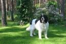 Zdjęcie 13 - Zakątek BERNA - hodowla Berneńskiego Psa Pasterskiego i Landseera